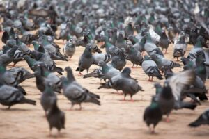 A flock of pigeons in the street